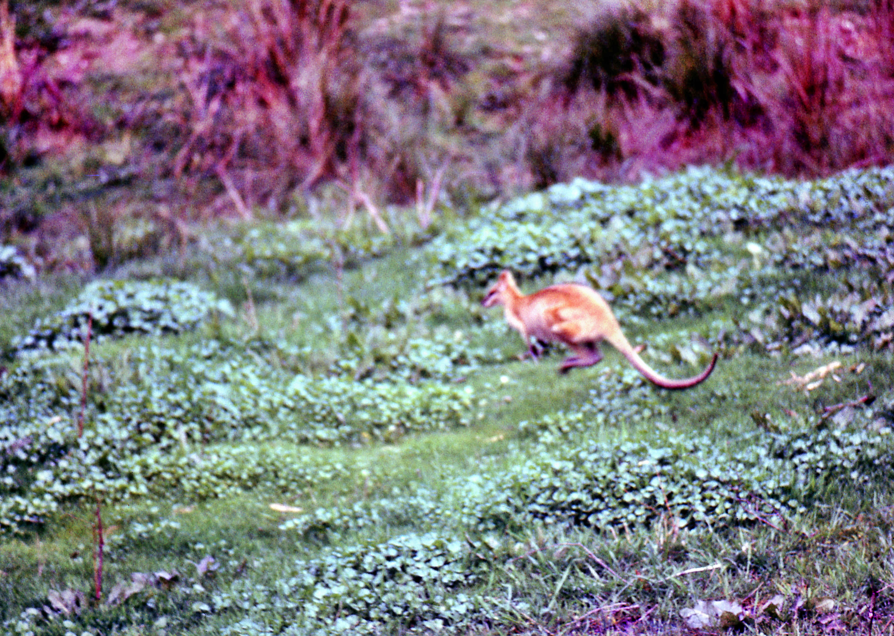 Wallaby-2.jpeg