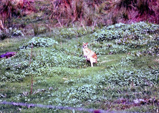 Wallaby-1.jpeg