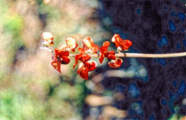 Flinders-flower.jpeg