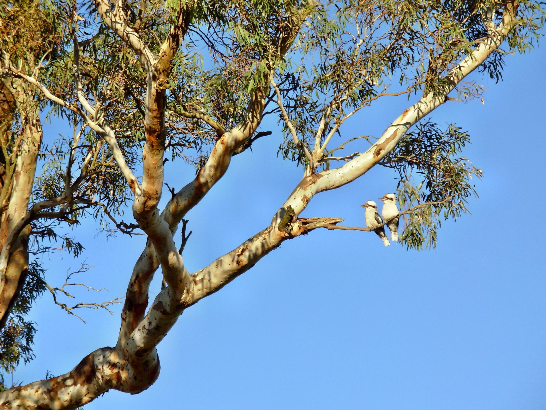 kookaburra-3.jpeg