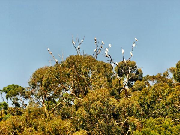 cockatoos-2.jpeg