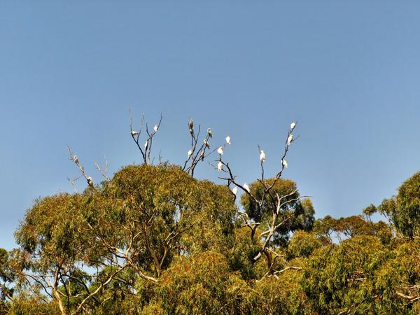 cockatoos-5.jpeg