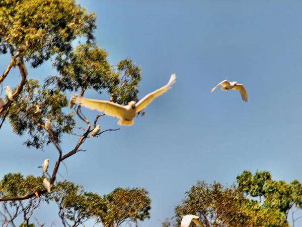 cockatoos-6.jpeg
