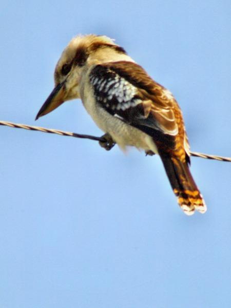kookaburra-1.jpeg