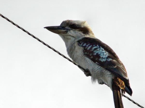 kookaburra-4.jpeg