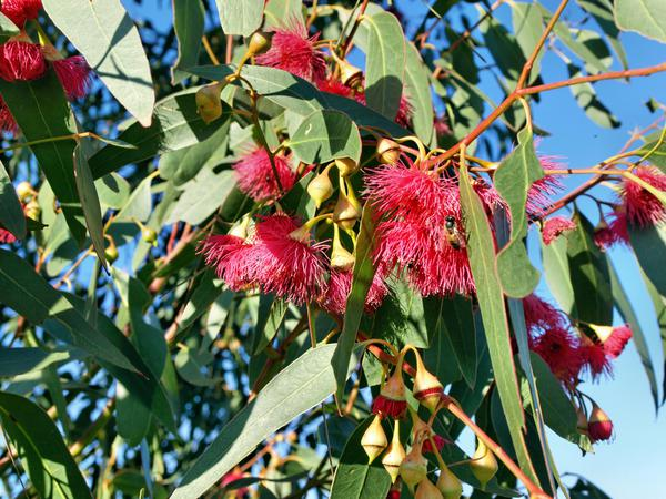 flowering-gum-2.jpeg