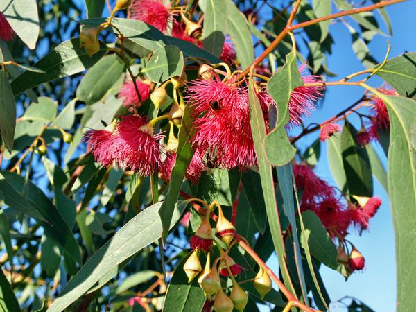flowering-gum-4.jpeg