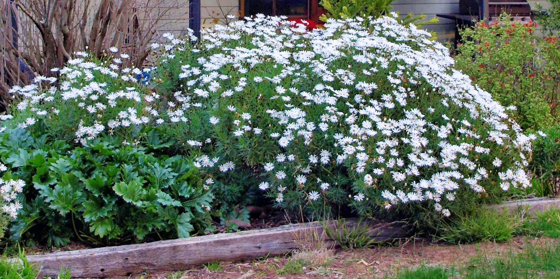 daisy-bush.jpeg