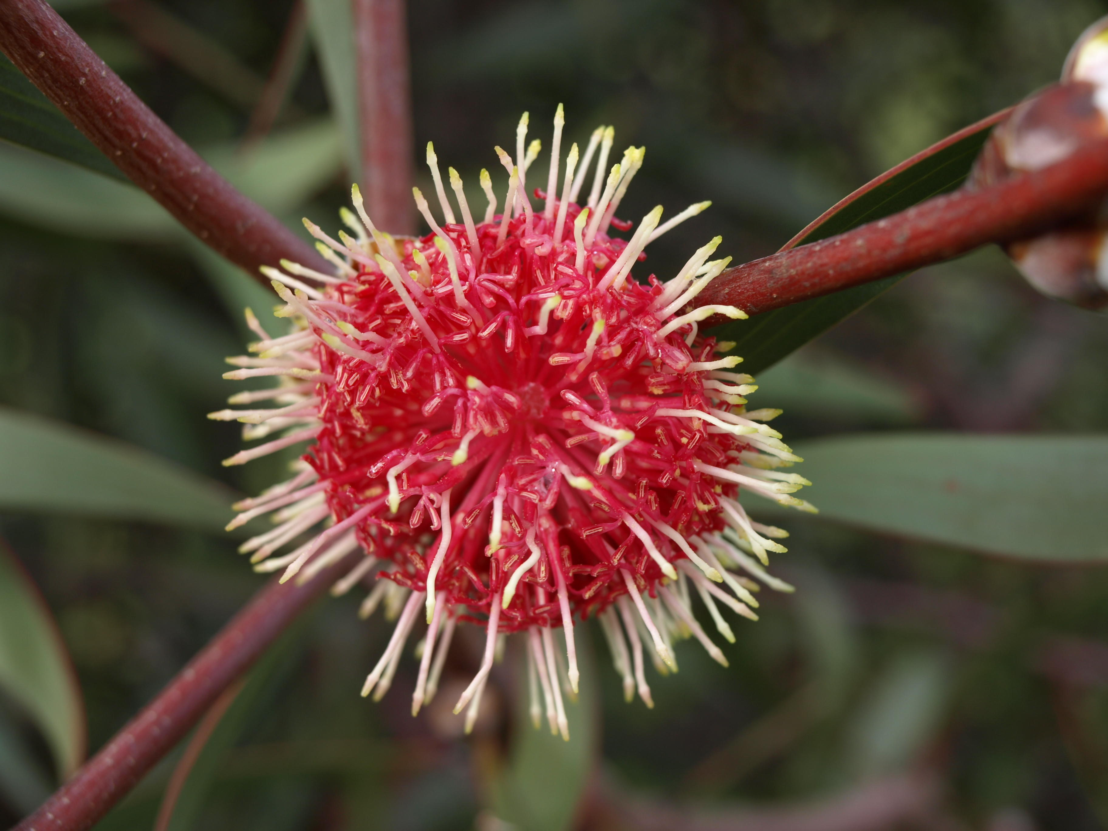 hakea-flower-1.jpeg