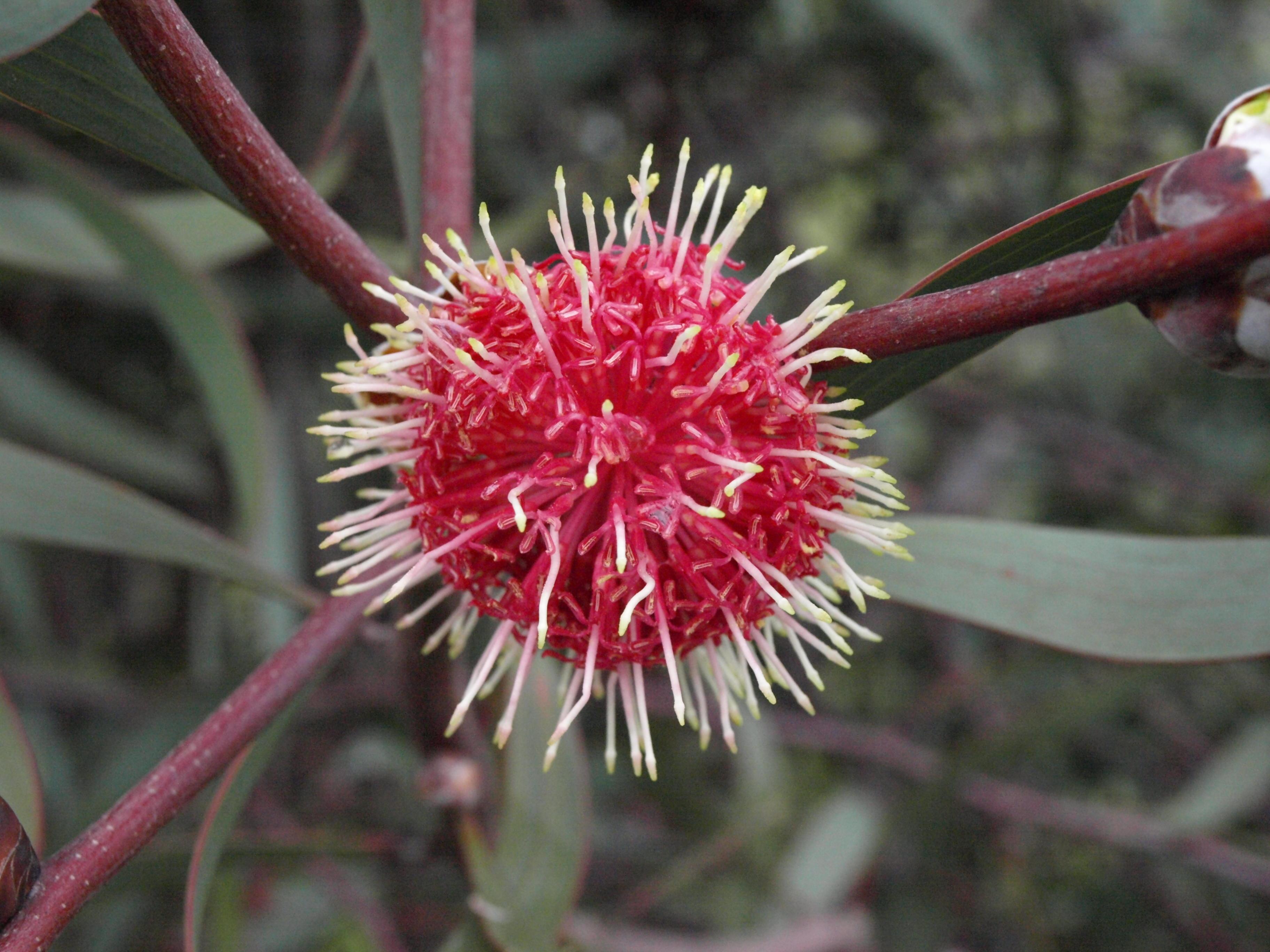 hakea-flower-2.jpeg