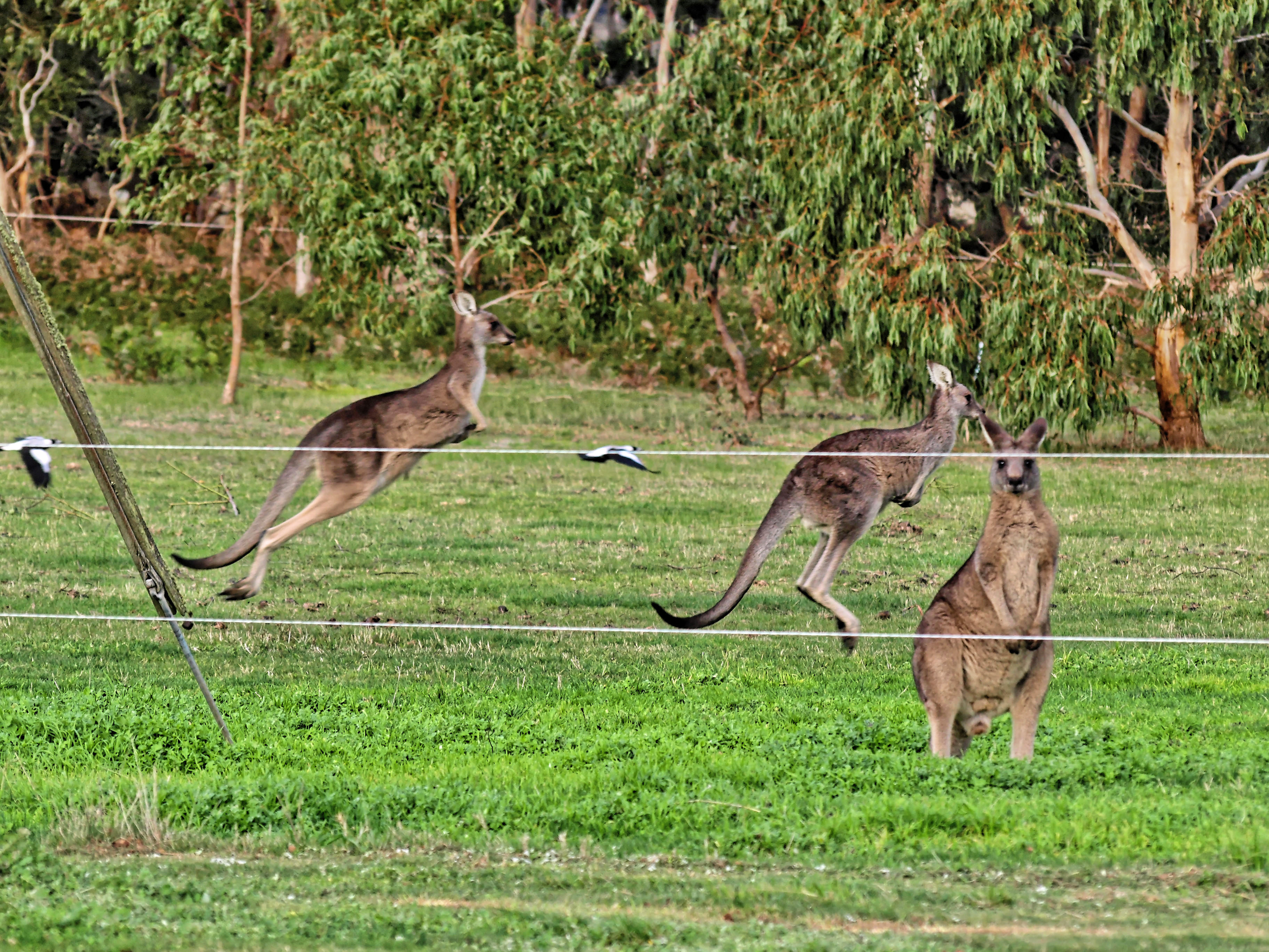 kangaroos-1.jpeg