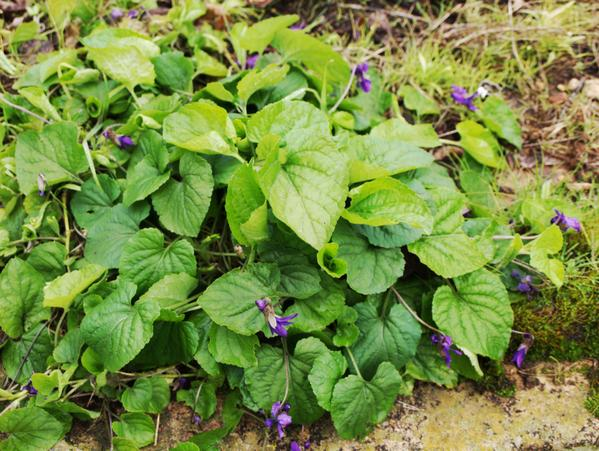 violets.jpeg