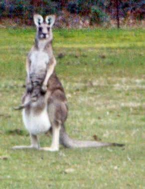 kangaroos-1-detail-2.jpeg