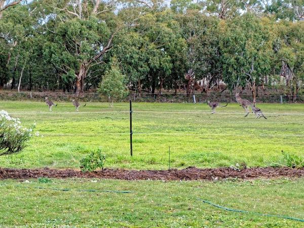kangaroos-2.jpeg