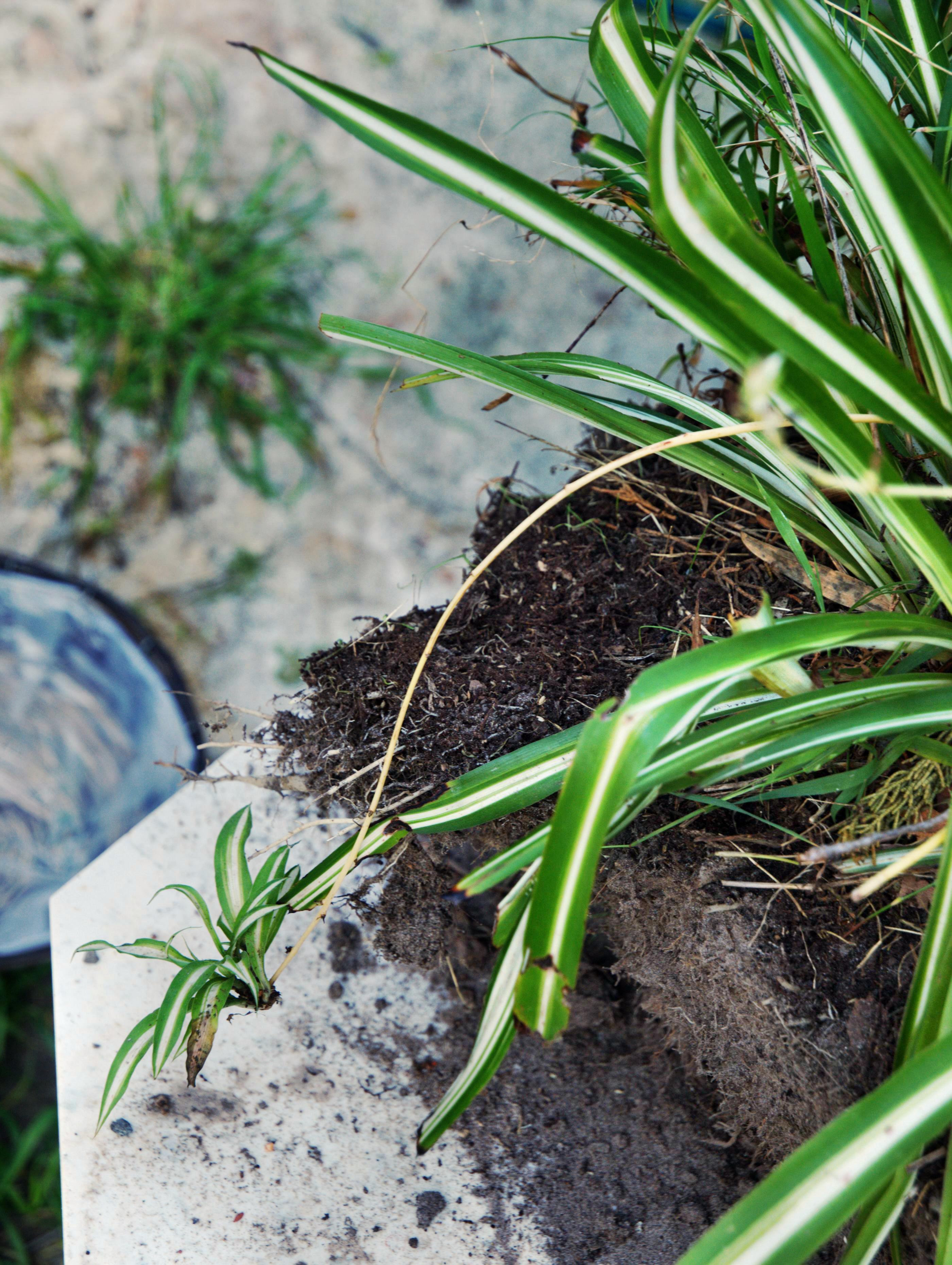 spider-plant-2.jpeg