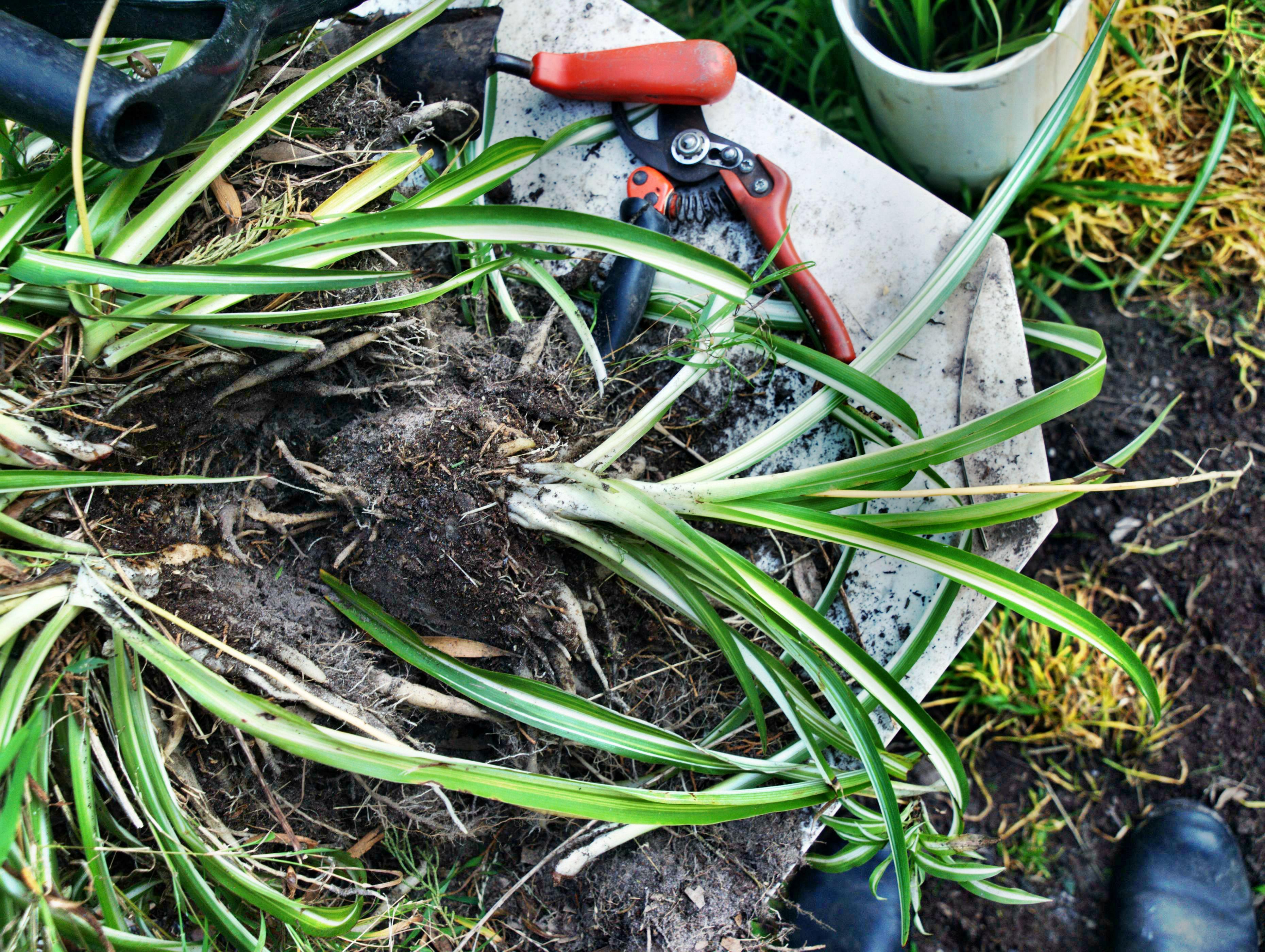 spider-plant-4.jpeg