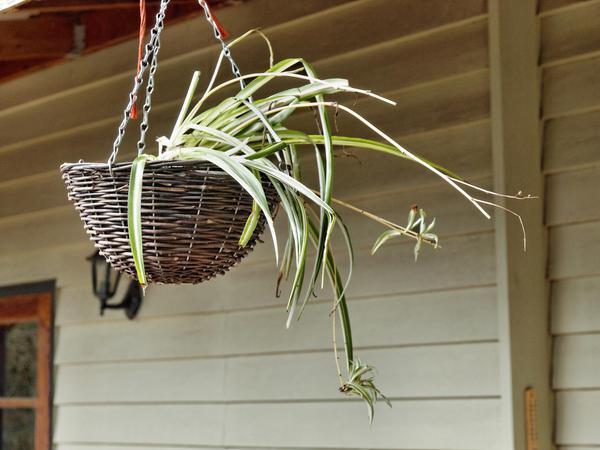 spider-plant.jpeg