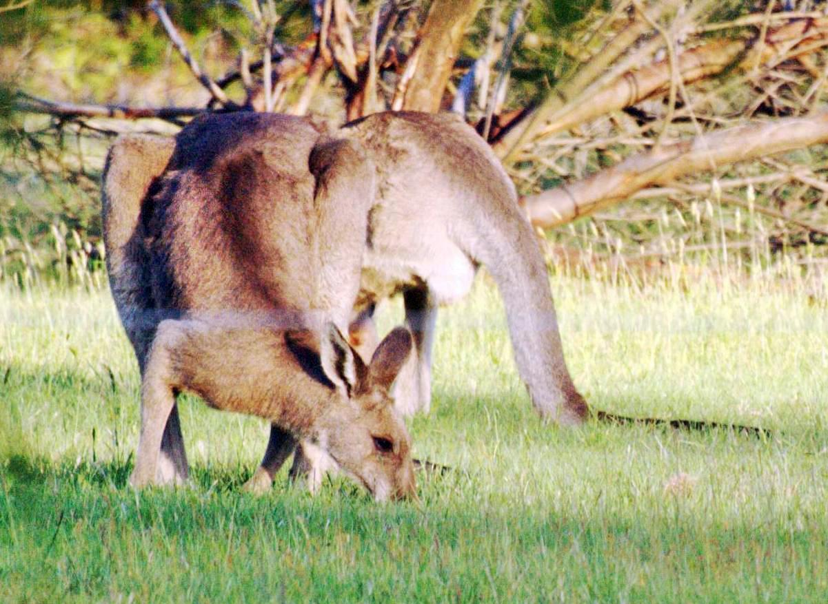 kangaroo-4-detail.jpeg