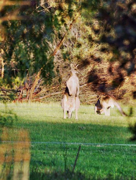 kangaroo-1.jpeg