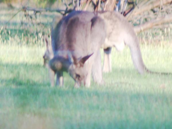 kangaroo-3-unoptimized.jpeg