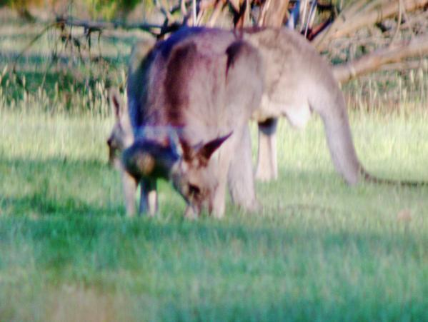 kangaroo-3.jpeg