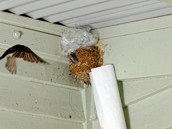 swallows-nest-1.jpeg