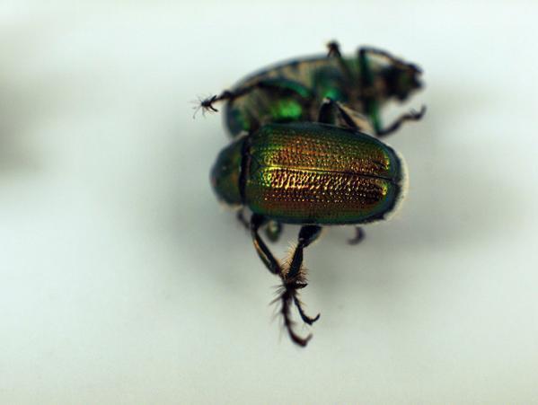 beetle-1.jpeg