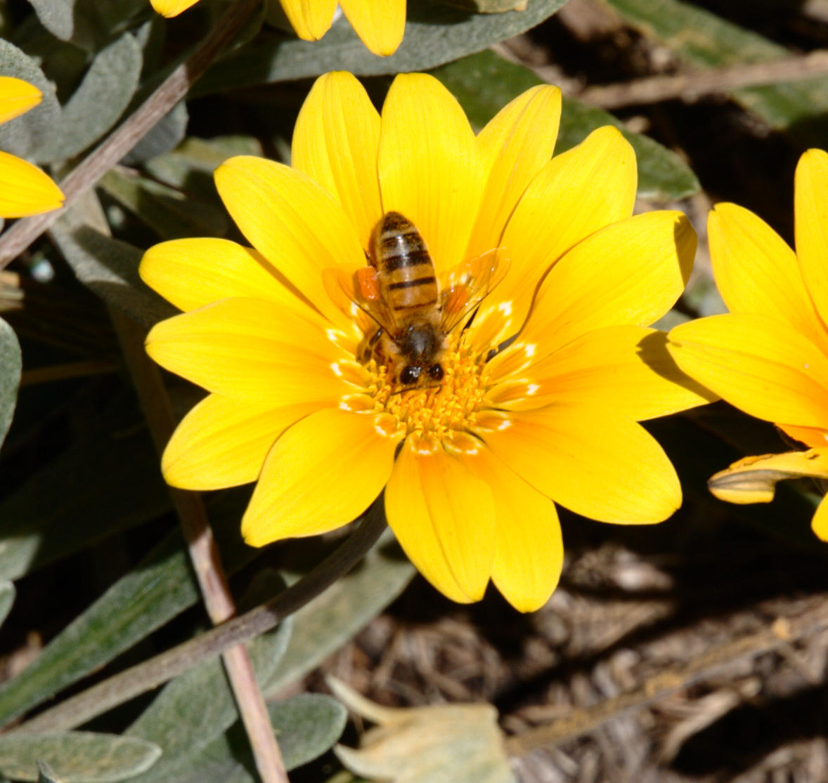 gazania-and-bee-1.jpeg