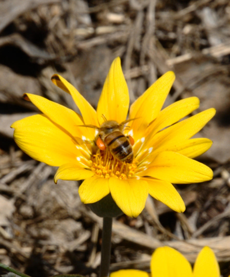 gazania-and-bee-10.jpeg
