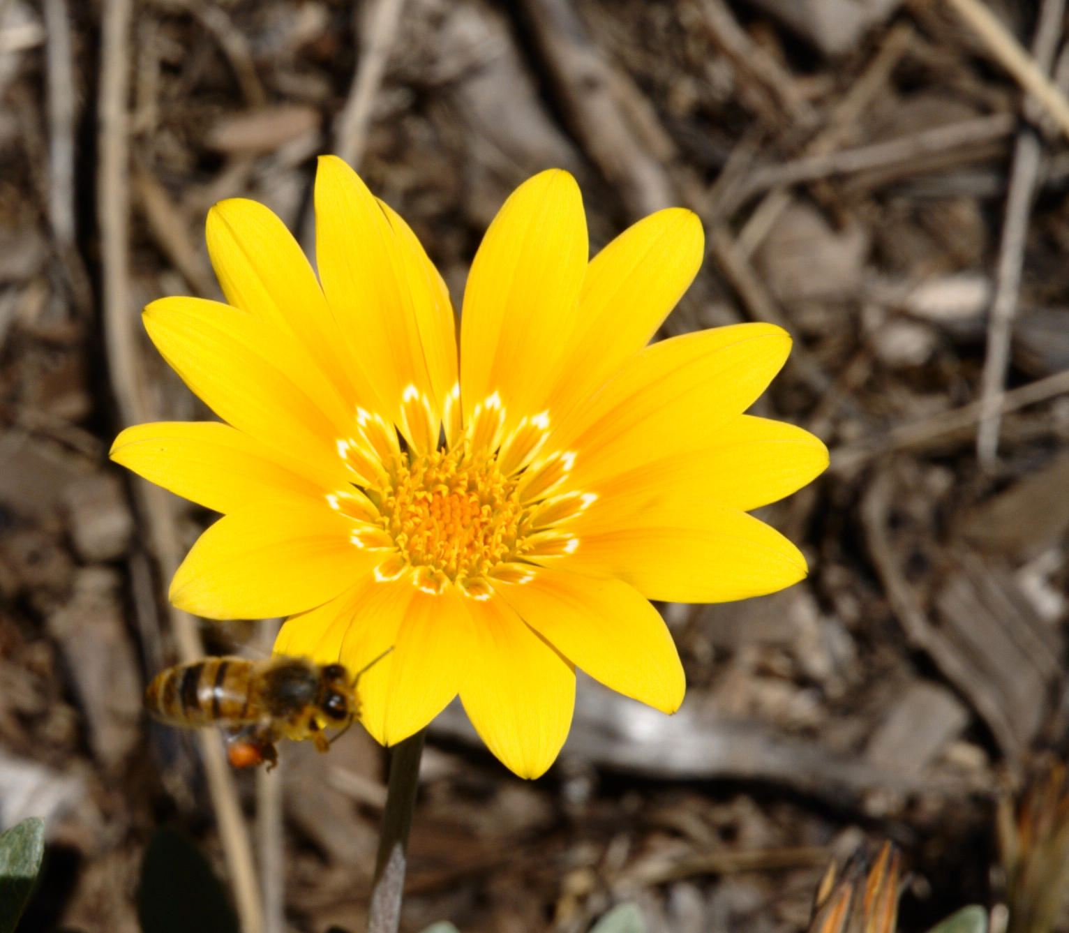 gazania-and-bee-4.jpeg