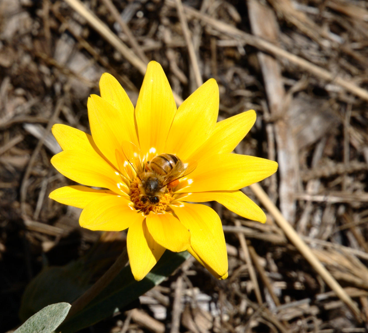 gazania-and-bee-5.jpeg