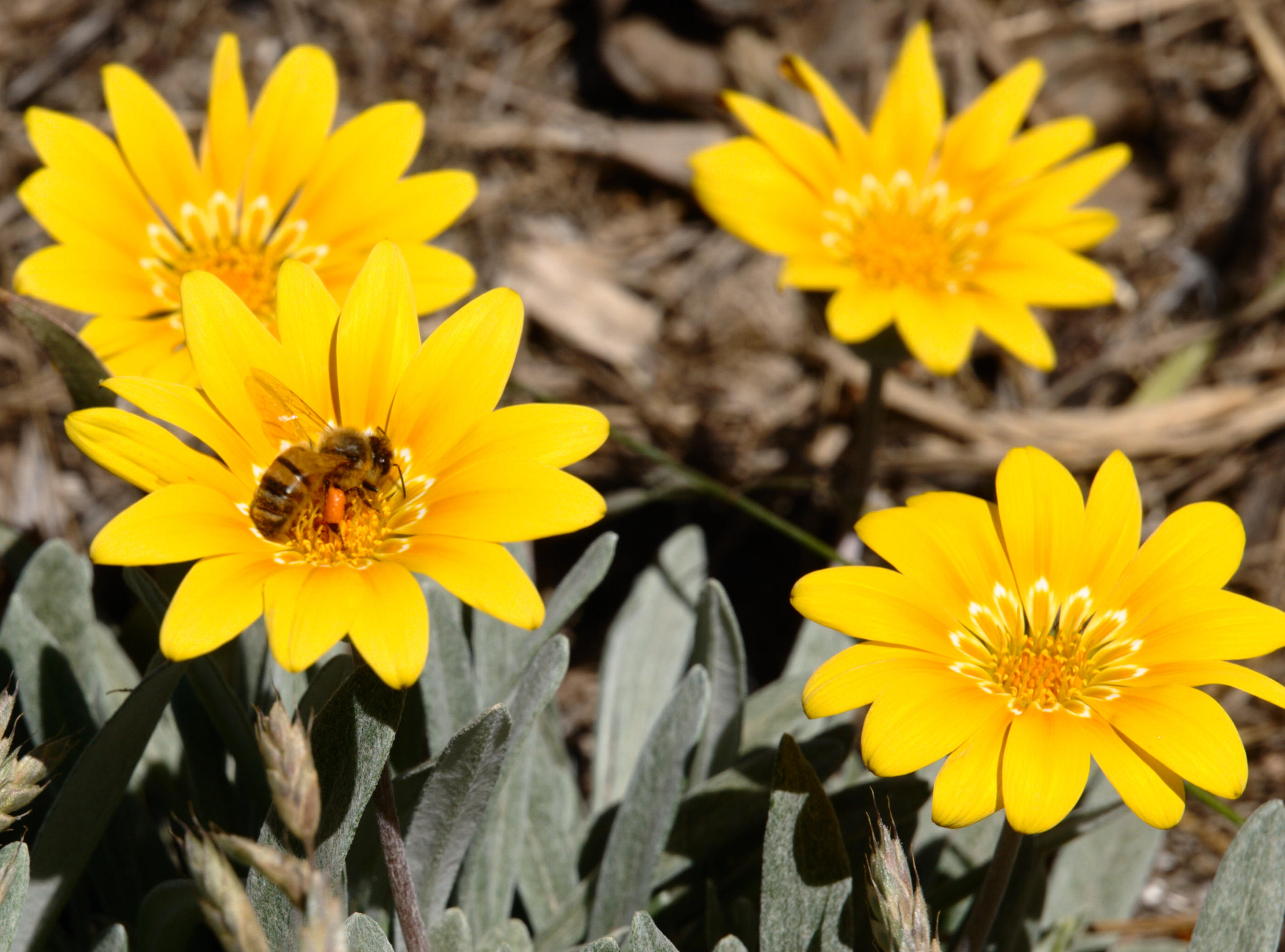 gazania-and-bee-7.jpeg