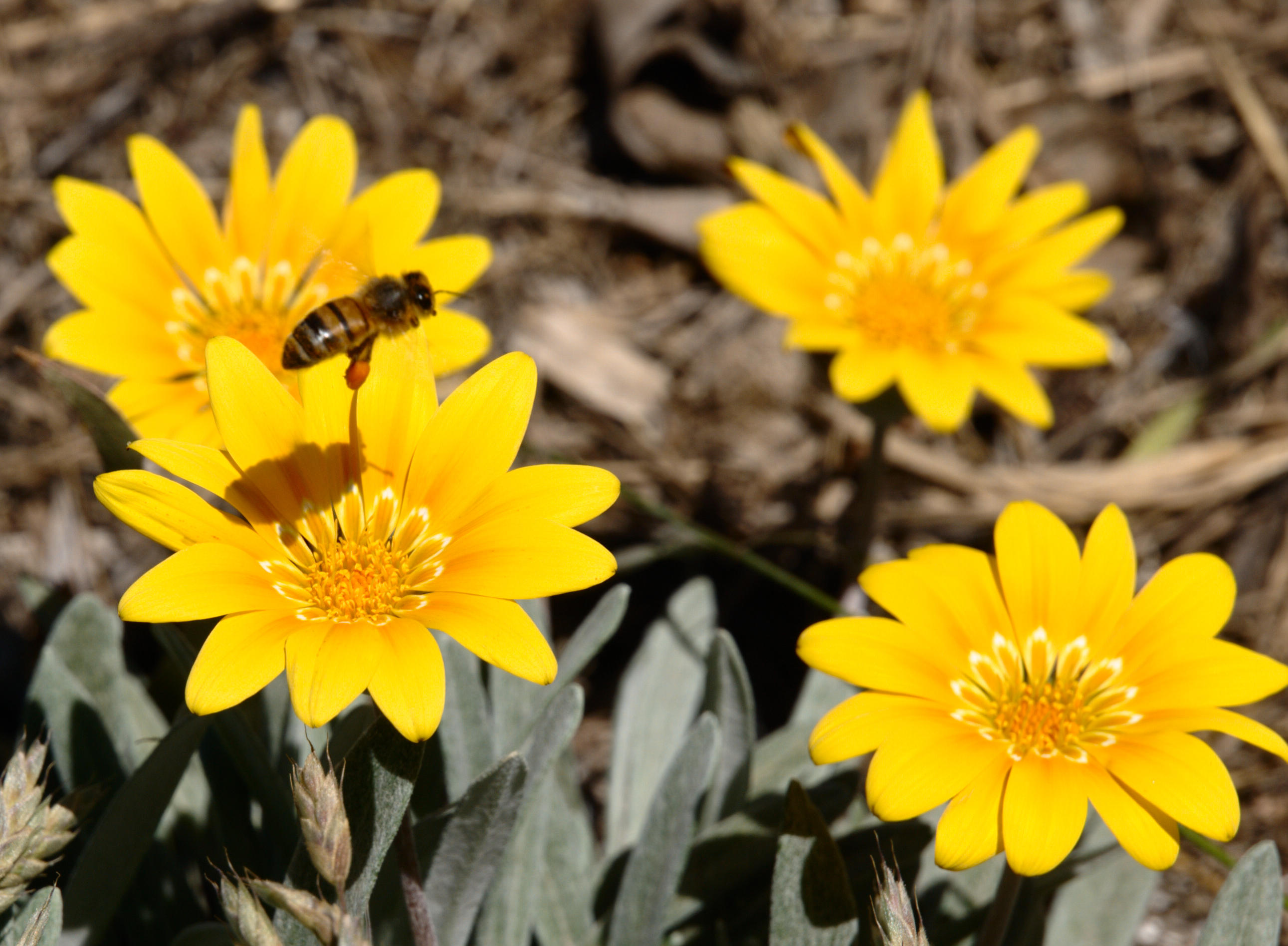 gazania-and-bee-8.jpeg