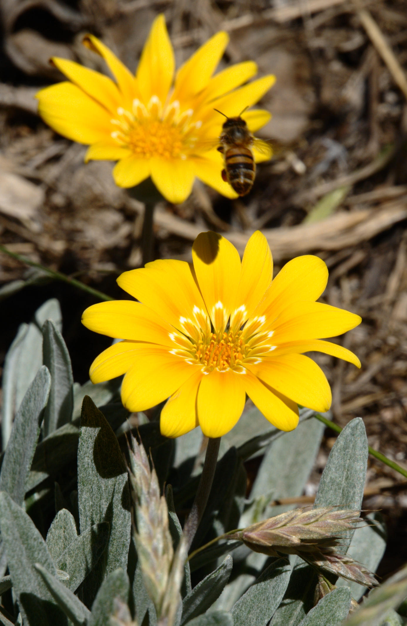gazania-and-bee-9.jpeg