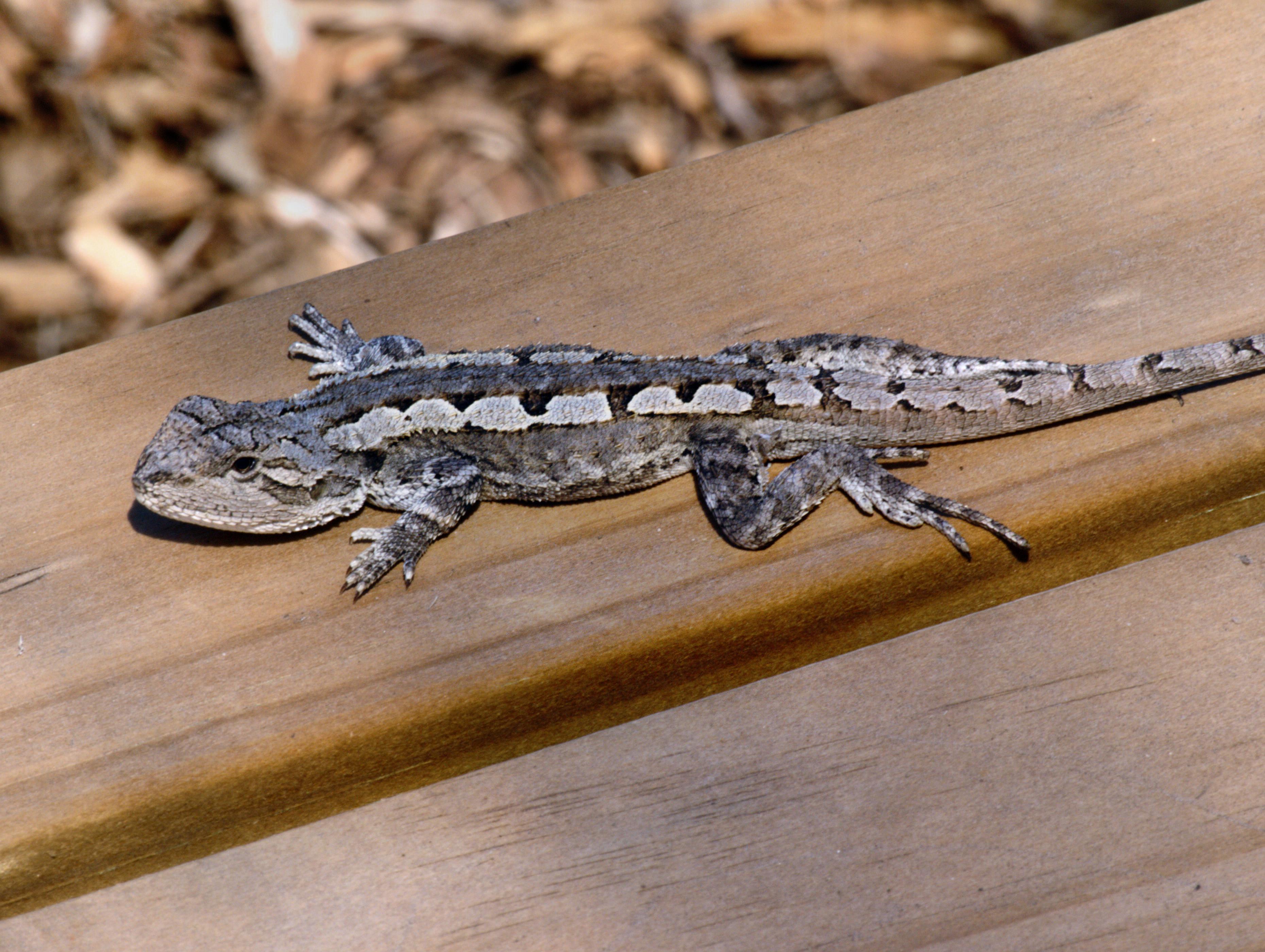 lizard-3.jpeg