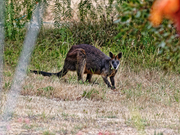 wallaby-1.jpeg