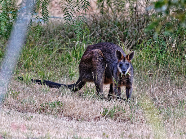 wallaby-3.jpeg