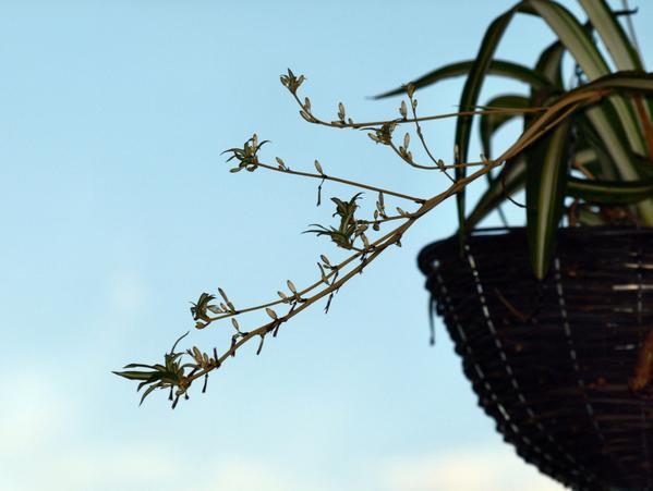 chlorophytum-1.jpeg