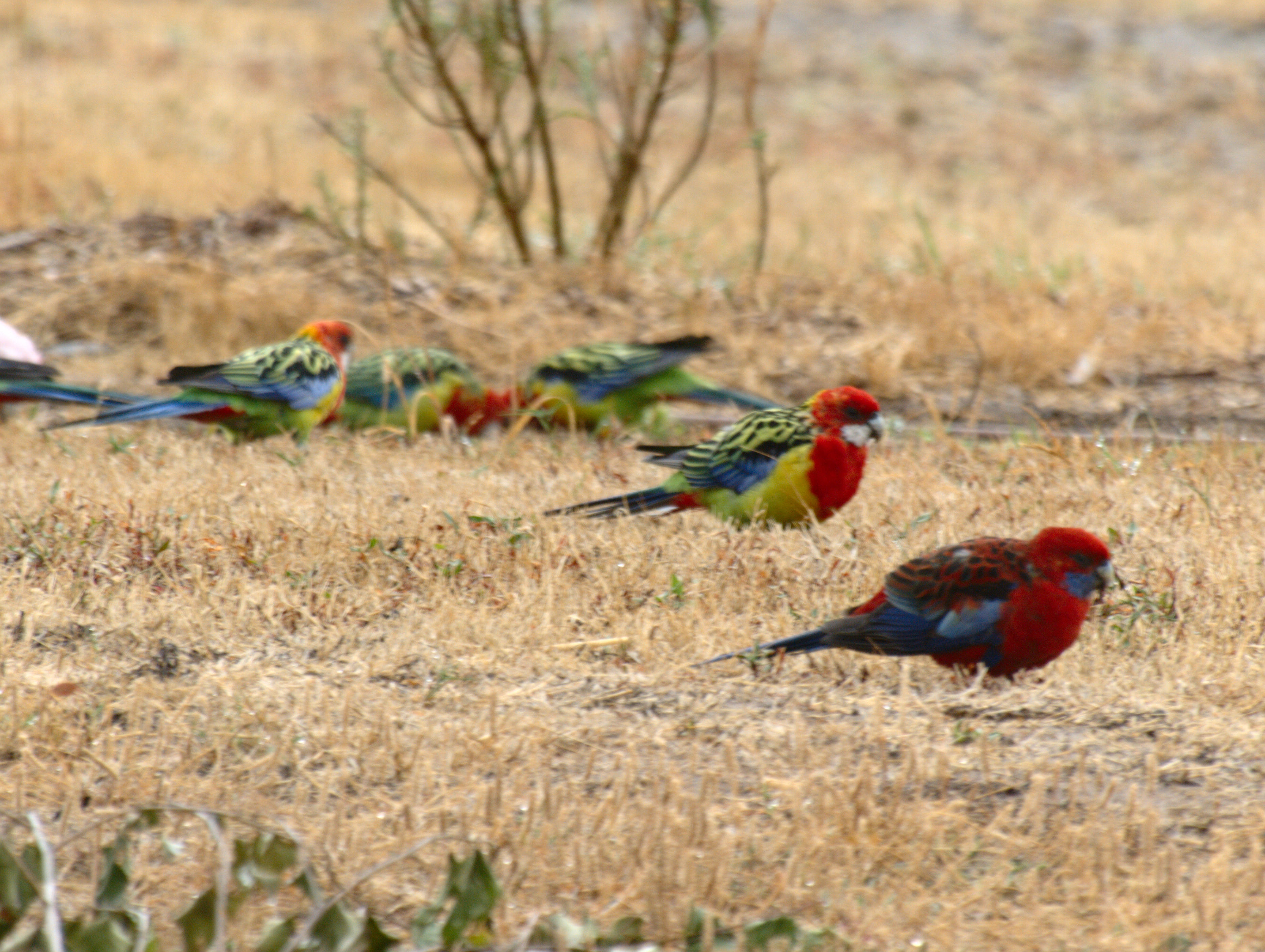 This should be rosellas-1.jpeg.  Is it missing?