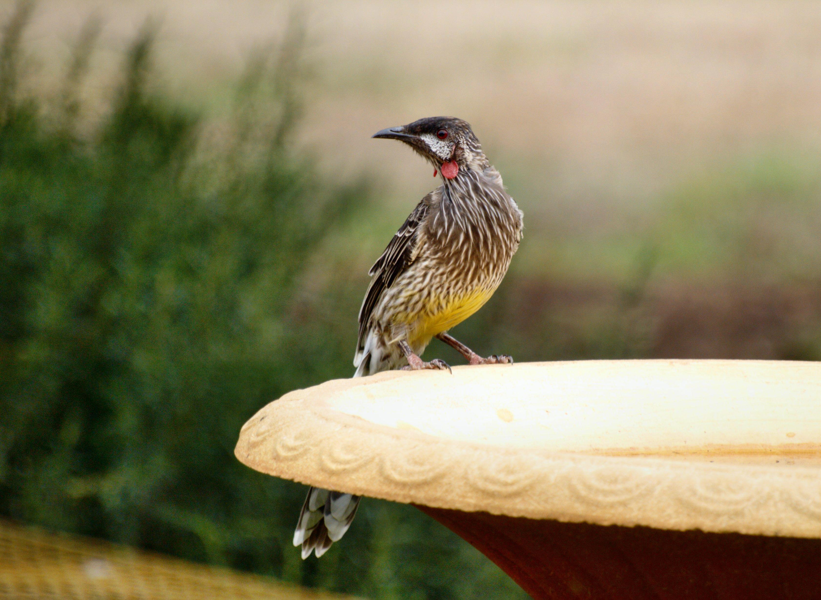 wattle-bird-5.jpeg
