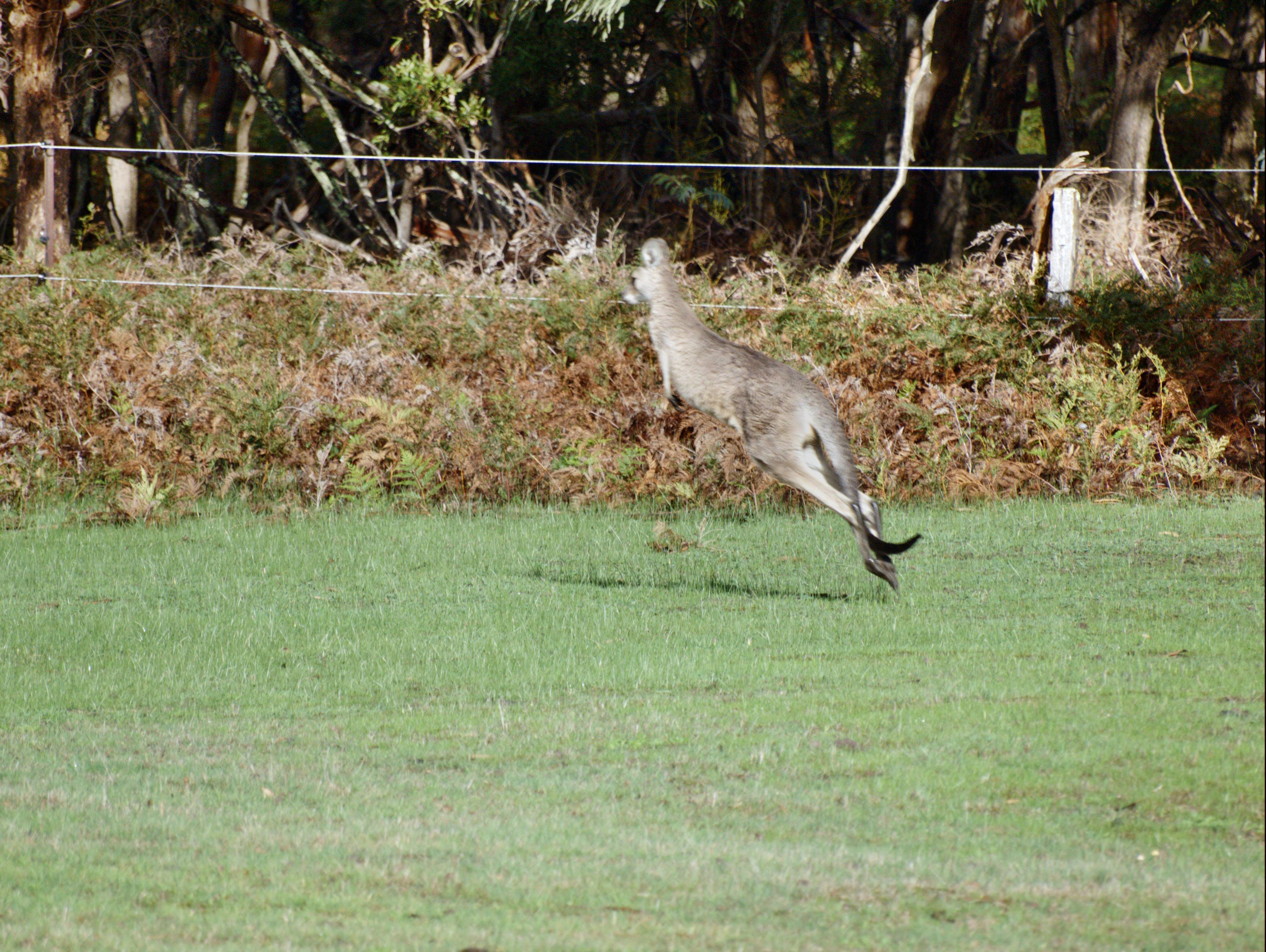 kangaroo-18.jpeg