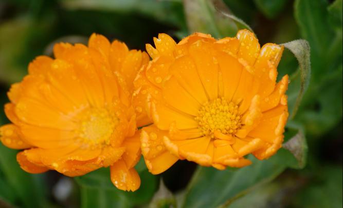 Marigolds-1.jpeg