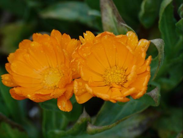 Marigolds-2.jpeg
