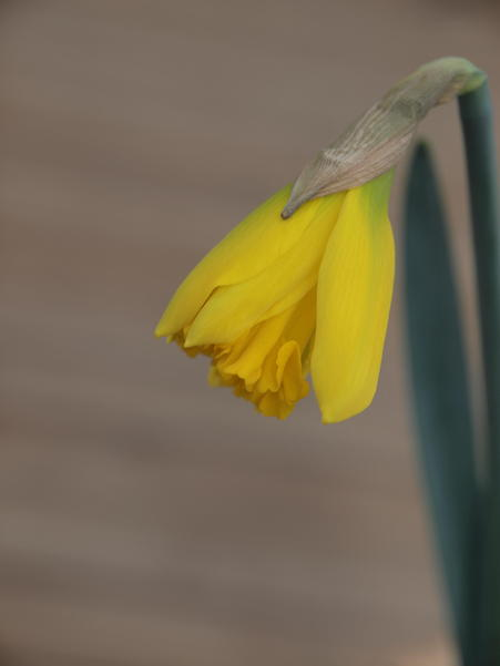 First-daffodil-of-spring.jpeg