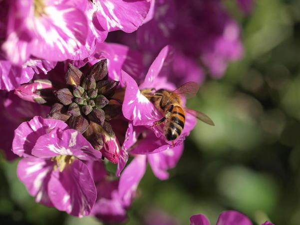 Erysimum-with-bee-4.jpeg
