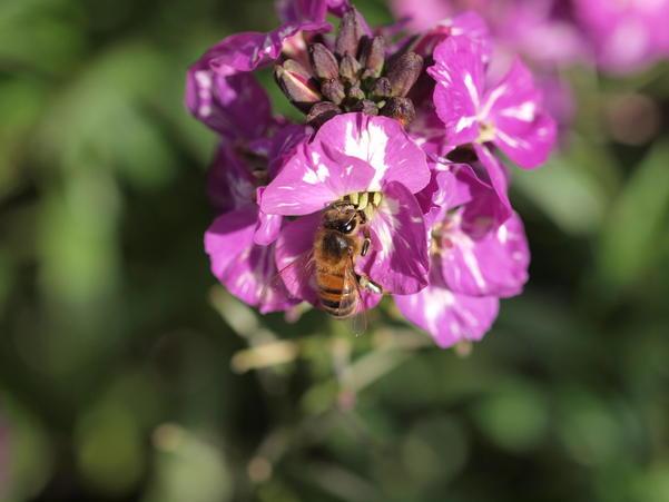 Erysimum-with-bee-5.jpeg
