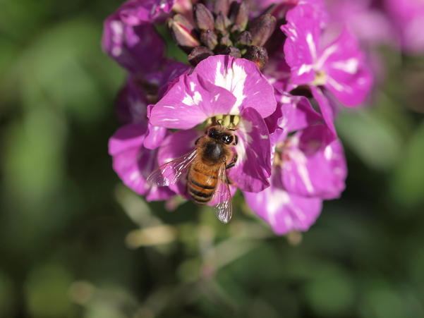 Erysimum-with-bee-7.jpeg