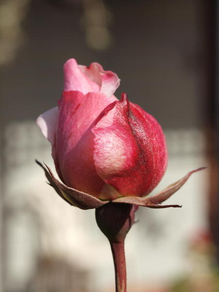 Rosebud.jpeg