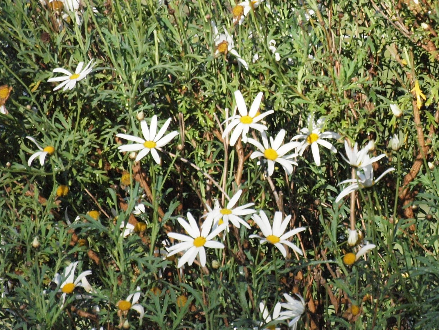 This should be Olympus-daisies-detail.jpeg.  Is it missing?