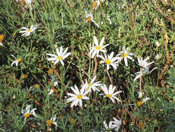 Olympus-daisies-detail.jpeg